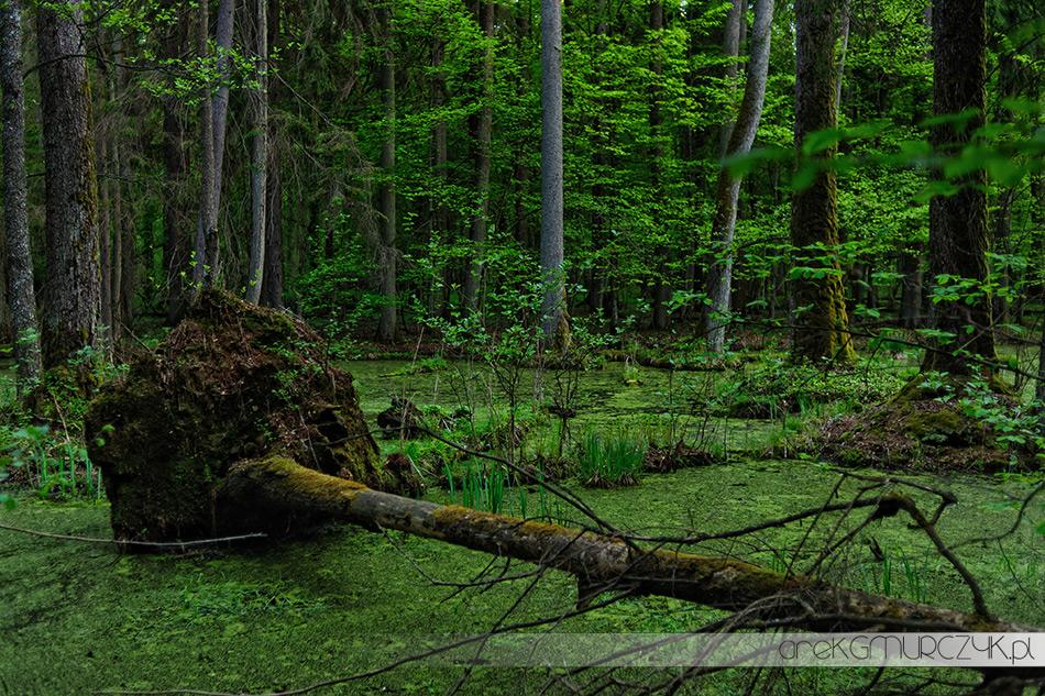 forest bialowieza